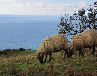 Manx Loaghtan sheep roam the coastal footpaths of Mourier Valley